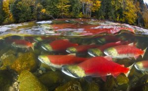 Sockeye Salmon swim up the Adams River in British Columbia, Canada to spawn.