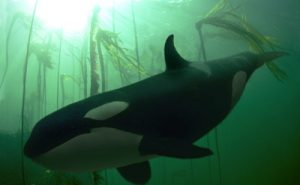 ORCA / KILLER WHALE  Orcinus orca  BRITISH COLUMBIA, CANADA.