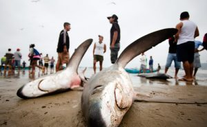 osull_m_20101808_sharkfishery0001