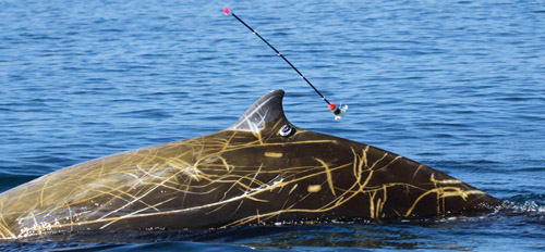 Satellite tag is attached to the dorsal fin of an adult male Cuvier's beaked whale. The tagging arrow is shown detaching from the tag Photo: Erin A. Falcone/Cascadia Research /Collected under NOAA permit 16111