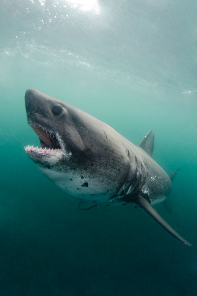 An-aggressive-stance-of-a-salmon-shark-chasing-the-bait